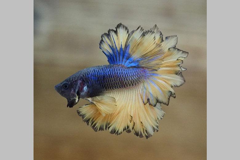 Feathertail Betta Fish