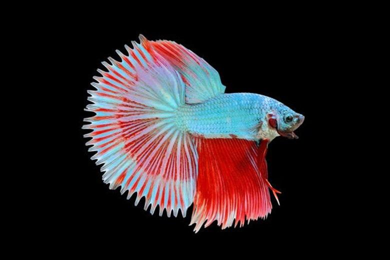 Halfsun Betta Fish
