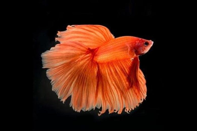 Orange Betta