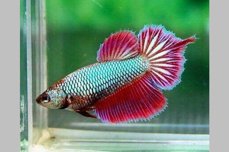 Spadetail Betta Fish