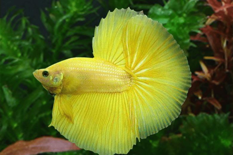 Yellow Beta
